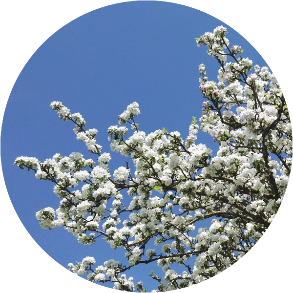 helena-weingartner-brunner-apfelbaum-blueten